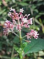 Chassalia curviflora flowers at Peravoor (1).jpg