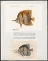 Chelmo rostratus - 1700-1880 - Print - Iconographia Zoologica - Special Collections University of Amsterdam - UBA01 IZ13100189.tif