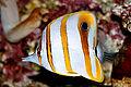 Chelmon rostratus Kupferstreifen-Pinzettfisch.jpg