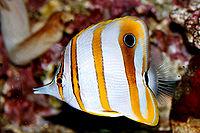 Chelmon rostratus Kupferstreifen-Pinzettfisch
