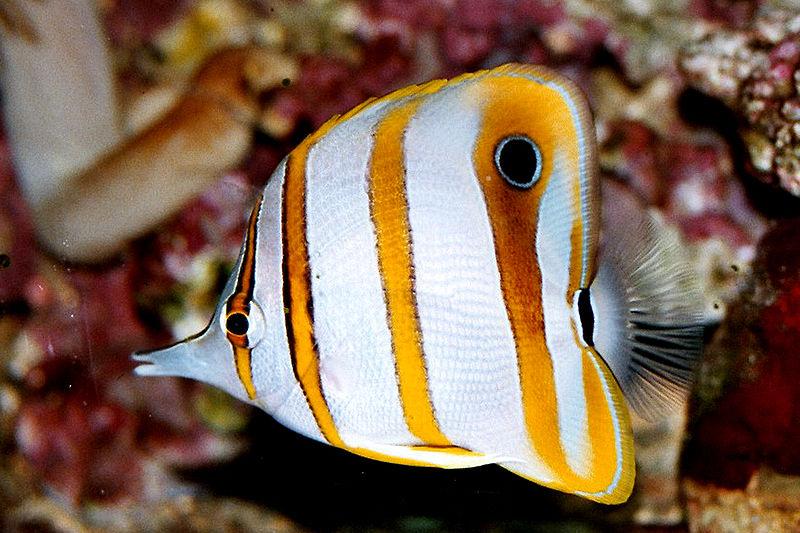 Datei:Chelmon rostratus Kupferstreifen-Pinzettfisch.jpg