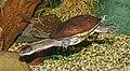 Chelodina mccordi - Karlsruhe Zoo 01.jpg