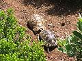 Chersina angulata tortoises - Cape Town - Kirstenbosch Botanical Garden.JPG