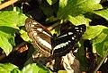 Chestnut-streaked Sailer Neptis jumbah UP by Dr. Rju Kasambe DSCN3952 (5).jpg