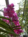 Chiang Mai Orchids P1110372.JPG