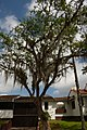 Chiminango (Pithecellobium dulce) (14409987381).jpg