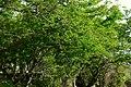 Chiminango (Pithecellobium dulce) (14516525600).jpg