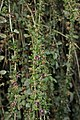 Chinese Boxthorn - Lycium chinense (44282167884).jpg