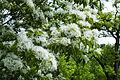 Chionanthus retusus - Chinese Fringetree - 11.jpg