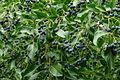 Chionanthus retusus - fruit - Arnold Arboretum.jpg