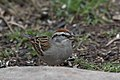 Chipping Sparrow South Llano River State Park Llano TX 2018-02-24 16-23-33 (40540921822).jpg