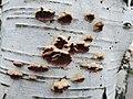Chondrostereum purpureum 104595381.jpg