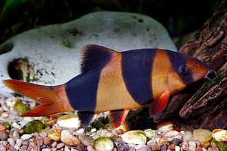 Clown loach - Clown loach in an aquarium