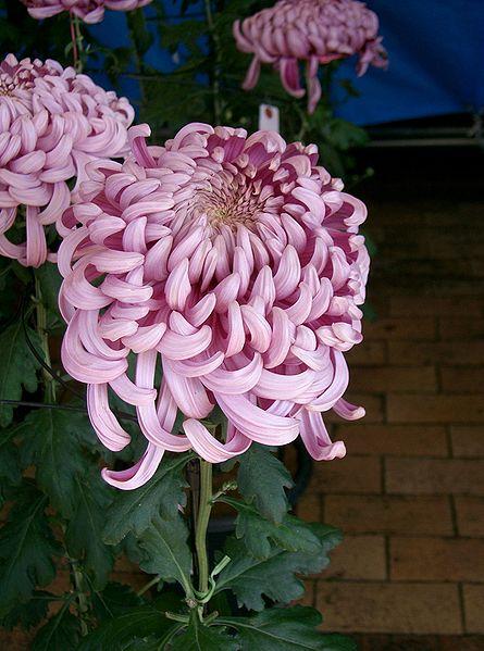 أحلى الألوان من زهور الأقحوان 445px-Chrysanthemum_