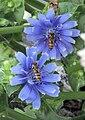 Cichorium endivia flower (4).jpg