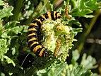 Cinnabar moth caterpillar 04.jpg
