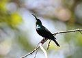 Cinnyris mariquensis (Nectariniidae) (Marico Sunbird) - (male), Nylsvlei Nature Reserve, South Africa.jpg