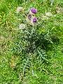 Cirsium eriophorum in PNR Pyrenees ariegeoises 03.jpg
