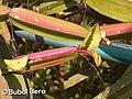 Cissus quadrangularis - Bubai Bera 02.jpg