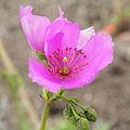 Cistanthe grandiflora-IMG 4246.jpg