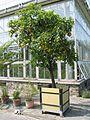 Citrus sinensis - Meise 060629 (10).JPG