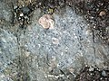 Clast-rich mixtite (Coleman Member, Gowganda Formation, Paleoproterozoic, ~2.3 Ga; Percival Lake roadcut, Ontario, Canada) 10 (46810547545).jpg