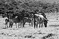 Clean Up The Zebra (139026589).jpeg