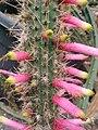 Cleistocactus dependens (2).jpg