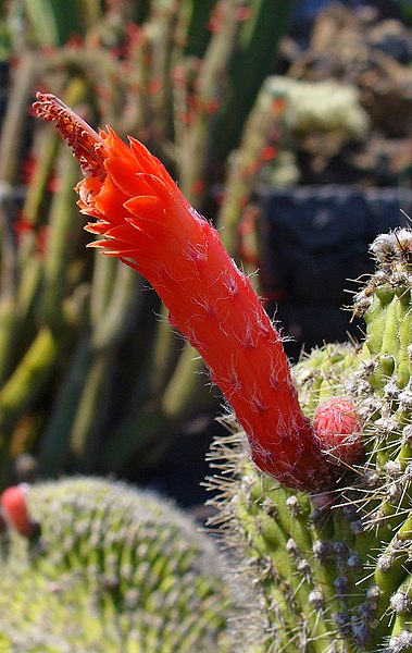 File:Cleistocactus hyalacanthus f. cristata 02.JPG