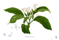 Clerodendrum blancoi Blanco1.223.png