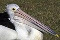 Clontarf Pelican Feeding Time-02 (7400329578).jpg