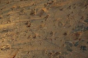 Lark Quarry Dinosaur Trackways - Close-up digital image of Dinosaur Tracks at Lark Quarry.