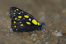 Close wing position of Delias belladonna Fabricius, 1793 – Hill Jezebel Butterflies of Talle valley - 5.jpg