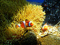 Clownfish (4).jpg