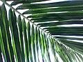 Coconut palms in Chennai.jpg