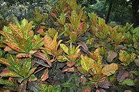 Codiaeum variegatum (Croton) in Hyderabad, AP W IMG 0476