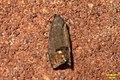 Codling moth (BG) (36506774043).jpg