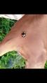 Coelophora saucia (Mulsant) ladybird .png