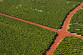 Coffee plantation, Kauaʻi 57.jpg