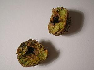 Andricus lignicola - Cola-nut gall cut open to show the unilocular cavity