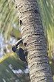 Collared aracari - Parque Nacional Natural Tayrona 12.jpg