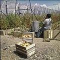 Collectie Nationaal Museum van Wereldculturen TM-20029592 Het kweken van tomaten Aruba Boy Lawson (Fotograaf).jpg