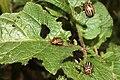 Coloradokever (Leptinotarsa decemlineata) 01.jpg