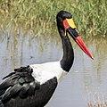 Colourful Stork (201790327).jpeg