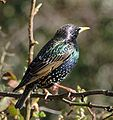 Colourful starling.jpeg