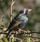 European Starling by Inked Animal