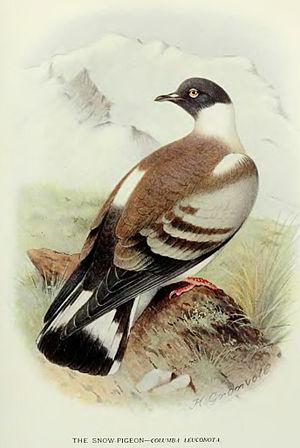 Snow pigeon - Image: Columba Leuconota Baker