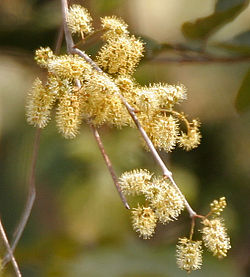 meaning of combretum