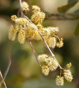 Combretum - Combretum albidum in Kinnerasani Wildlife Sanctuary, Andhra Pradesh, India