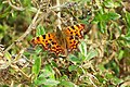 Comma Butterfly - geograph.org.uk - 522621.jpg